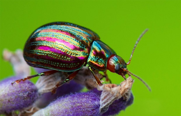 Photo of a Rosemary Beetle