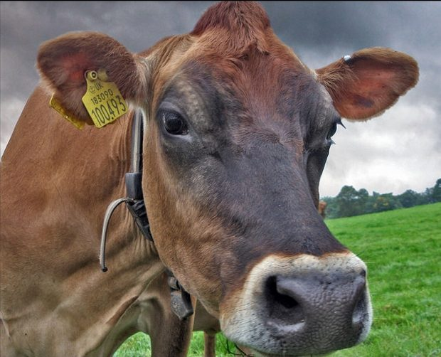 Jersey cow with identification tag in ear