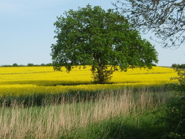 Tree in a yellow field